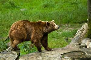 brown bear bear legend