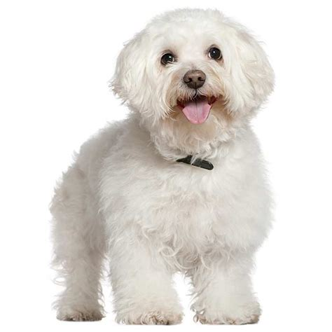 Does A Bichon Frise Shed by Non Shedding Dogs Types Of Dogs That Don T Shed Info