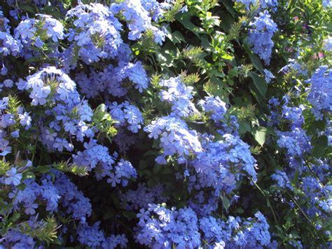 grand pot de fleur 1717 juillet 171 2010 171 plumes d anges