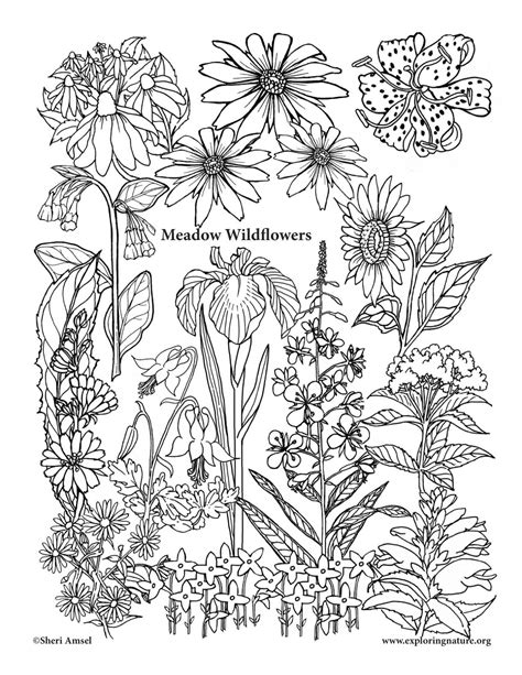 Coloring Pictures Of Wildflowers | meadow wildflowers coloring page