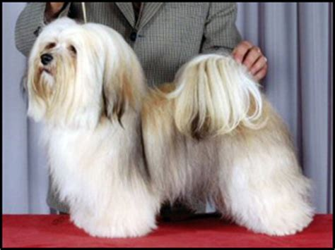 havanese show dogs havanese breeders canada s guide to dogs breeds
