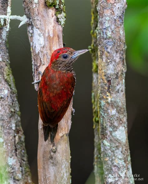 blood colored blood coloured woodpecker kester clarke wildlife photography