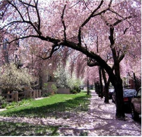 cherry blossom festival dc dc cherry blossom festival cherry blossom festival
