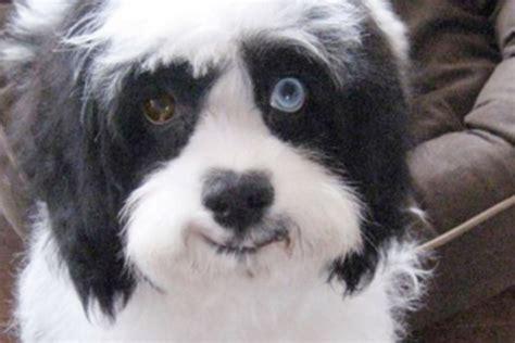 david bowies dog max  mismatched eyes   late master