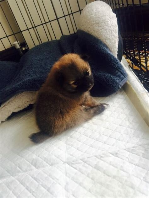 teacup pomeranian for sale in colorado teacup pomeranian puppies for sale middlesbrough pets4homes
