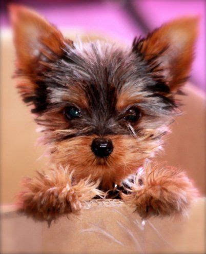 how big do teacup yorkie puppies get 36 best images about puppies on puppys and yorkies