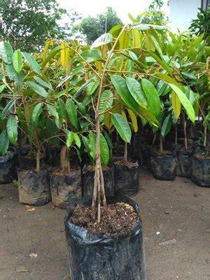 jual bibit durian bawor kualitas terbaik murah bergaransi