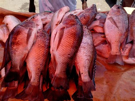 how to raise tilapia in your backyard how to farm tilapia fish in your home backyard