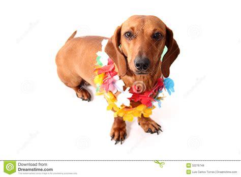 puppies hawaii hawaii style royalty free stock photos image 32276748