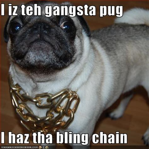 gangster pug pug 5 pictures of pugs looking like thugs hop to pop