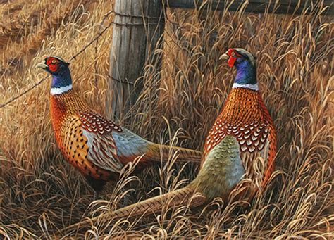 how to a to pheasant hunt pheasant pictures color birds black and white wallpaper desktop computers