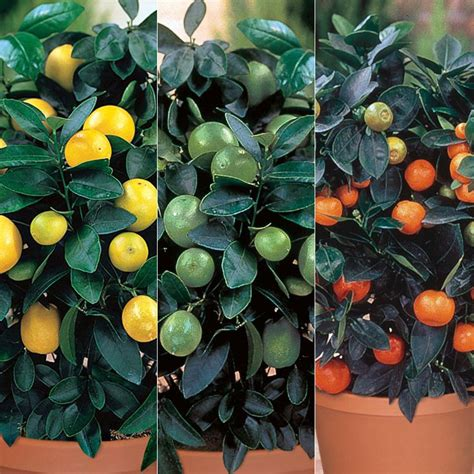 stark nursery fruit trees citrus tree collection citrus trees stark bro s