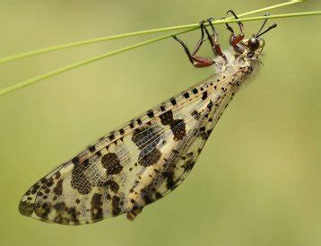 doodlebug insect facts antlion doodlebug facts insects in education