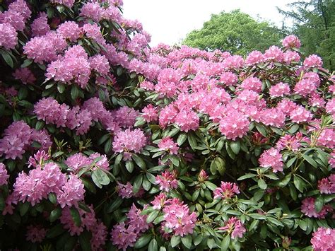 how to plant rhododendron flowers garden guides