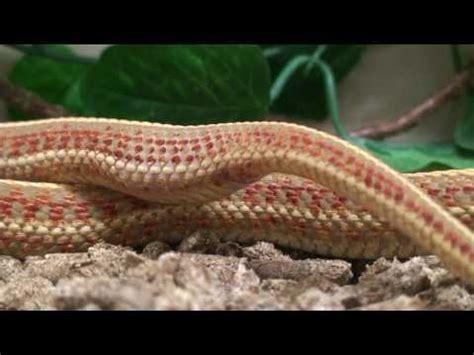 Garter Snake Giving Birth Northwestern Garter Snake Giving Birth 2010