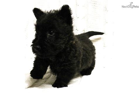 scottie puppies for sale scottish terrier puppies for sale