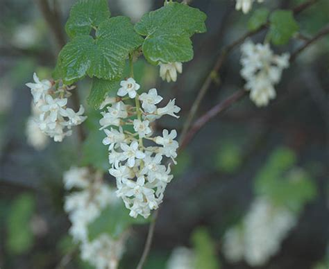 flowering shrubs oregon flowering currant oregon state univ landscape plants