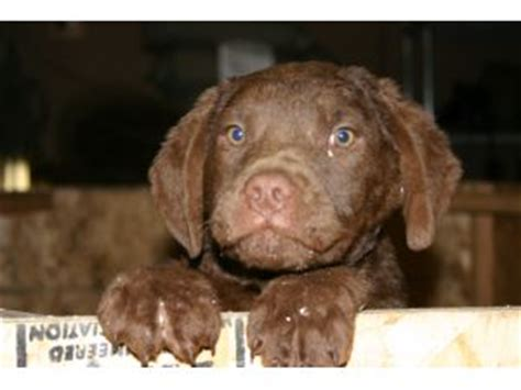 chesapeake bay retriever puppies for sale chesapeake bay retriever puppies for sale