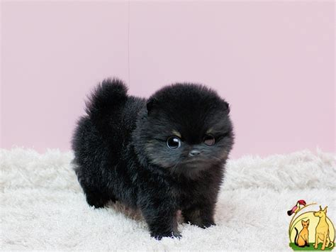 trained pomeranian puppies sale home trained pomeranian puppies for sale доска объявлений собаки