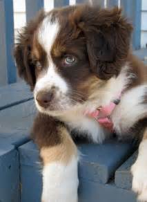 aussie color best 25 australian shepherds ideas on aussie