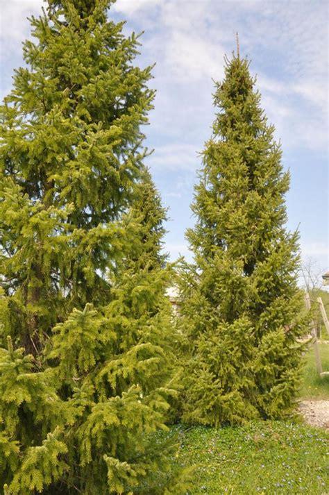 serbian spruce tree weeping serbian spruce memes