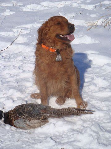 mioak s golden retrievers winkelmans gun dogs german shorthaired pointer s golden retriever