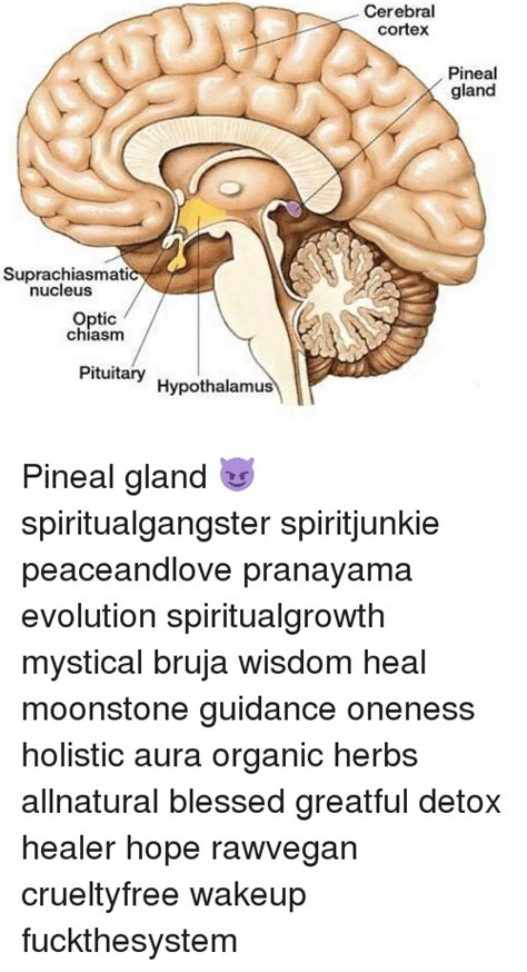 Detox Pineal Gland Herbs by Cortex Memes Of 2017 On Sizzle Yang
