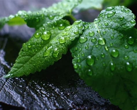 Mint Leaves Wallpaper | Download cool HD wallpapers here. Mint Leaves Wallpaper