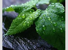 Mint Leaves Wallpaper | Download cool HD wallpapers here. Mint Leaves Wallpaper