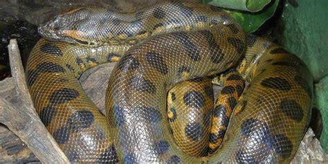 film tentang ular anaconda fakta fakta mengejutkan tentang ular anaconda merdeka com