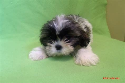 shih tzu for sale nj view ad shih tzu puppy for sale new jersey paterson