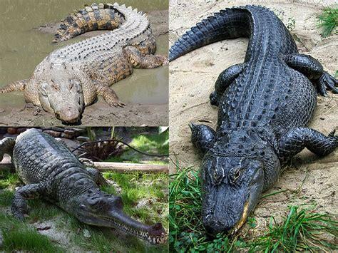 Original One Effect Crocodile Bib crocodile vs alligator wallpapers gallery
