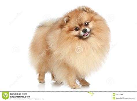 price of pomeranian puppies pomeranian prices 25 widescreen wallpaper dogbreedswallpapers