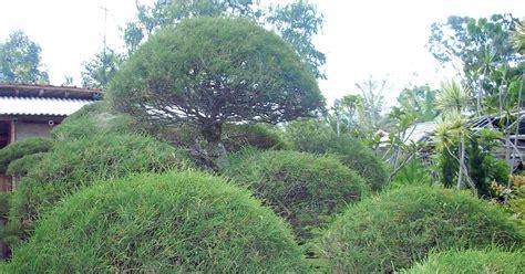 Jual Bibit Cemara Udang Jogja bonsai cemara udang jual tanaman hias