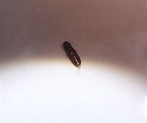 Insectes Dans La Cuisine by Tenebrionidae Demande D Itentification Insecte Avec