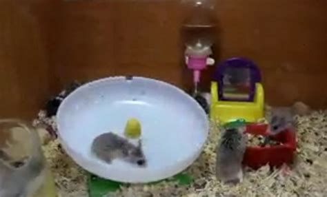 Flying Saucer Hamster science in of hamsters showing how a