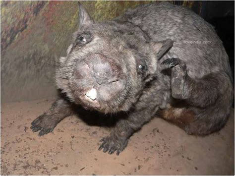 facts  northern hairy nosed wombat interesting amazing information  northern hairy