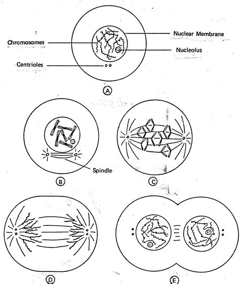 mitosis coloring sheet reading notes centrioles which help in cell division plant cells do not