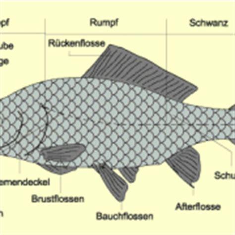 forelle schuppen fische in biologie sch 252 lerlexikon lernhelfer
