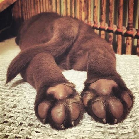 puppy toes 17 best ideas about chocolate lab puppies on labs chocolate labs and