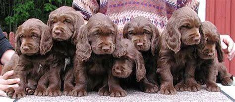 sussex spaniel puppies sussex spaniels puppies