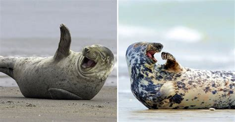 laughing seals   funniest  youll  today