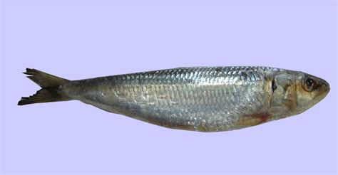 cucinare sardine sardina pilchardus walbaum peperoncini dintorni