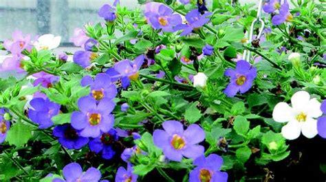 giardini con fiori bacopa per tappezzare il giardino di fiori