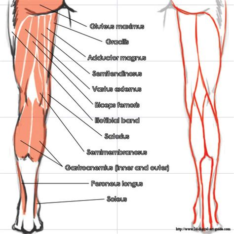 diagram of back muscles soleus innervation wiring diagrams wiring diagram schemes