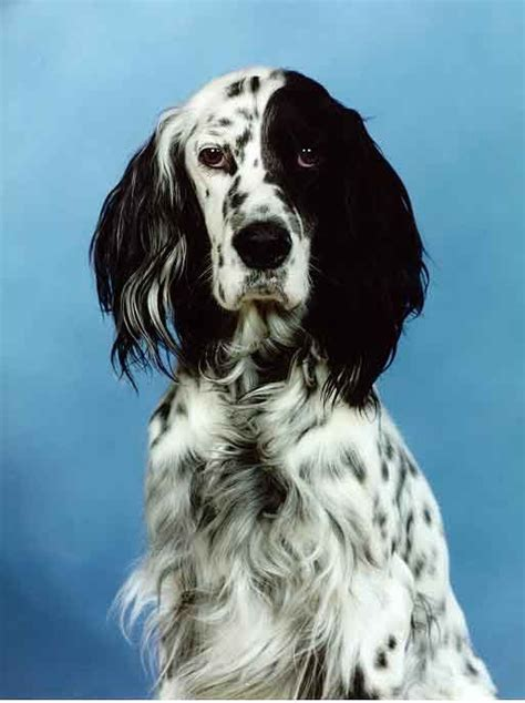 48 best images about english setter on pinterest english setter i had an english setter growing up on the