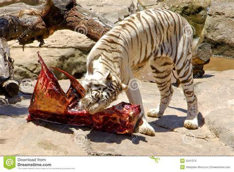 carne alimentazione carne d alimentazione della tigre di bengala
