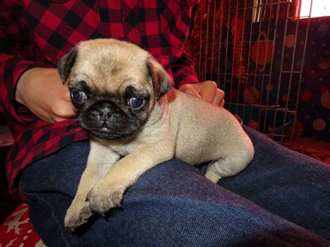 pug puppies for sale east pug puppies for sale eastbourne east sussex pets4homes