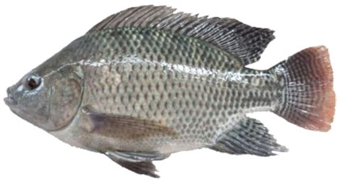 morfologi dan klasifikasi ikan nila oreochromis niloticus serta asal usulnya