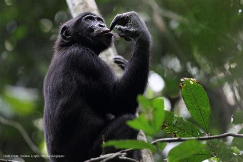 Bonobo Conservation Initiative » Protecting Bonobos